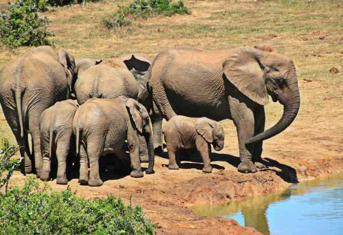 elephant-animal-herd-of-elephants-elephant-family.jpg